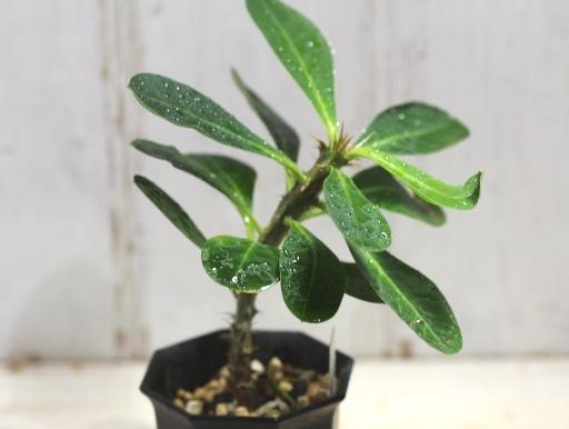 画像2: 丈夫です! [多肉][トウダイグサ科][ユーフォルビア][花キリンタイプ] 花キリン Euphorbia milii #043-02