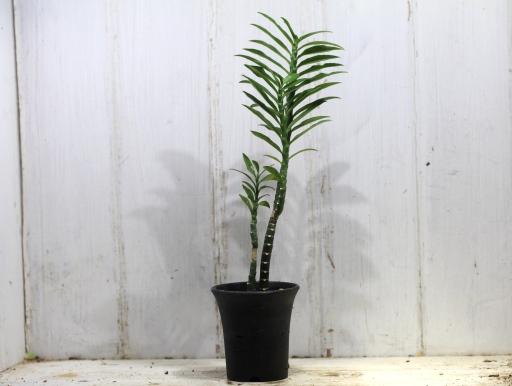 画像1: ユーフォルビアの近縁種! [多肉][トウダイグサ科][ペディランサス] P・ティティマロイデス・ナナ・コンパクタ Pedilanthus tithymaloides nana compacta [その3]
