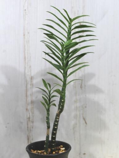画像2: ユーフォルビアの近縁種! [多肉][トウダイグサ科][ペディランサス] P・ティティマロイデス・ナナ・コンパクタ Pedilanthus tithymaloides nana compacta [その3]