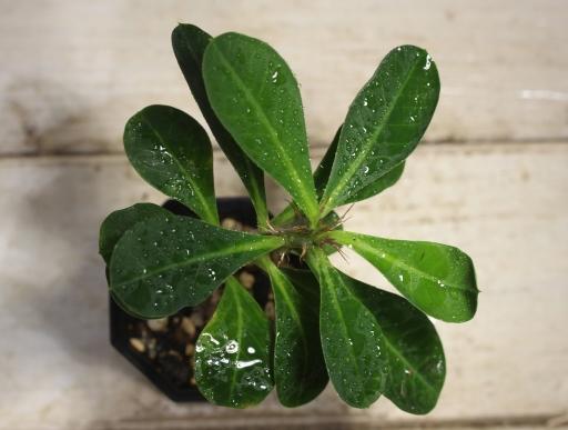 画像3: 丈夫です! [多肉][トウダイグサ科][ユーフォルビア][花キリンタイプ] 花キリン Euphorbia milii #043-02