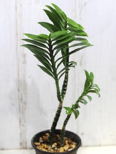 画像2: ユーフォルビアの近縁種! [多肉][トウダイグサ科][ペディランサス] P・ティティマロイデス・ナナ・コンパクタ Pedilanthus tithymaloides nana compacta [その2]