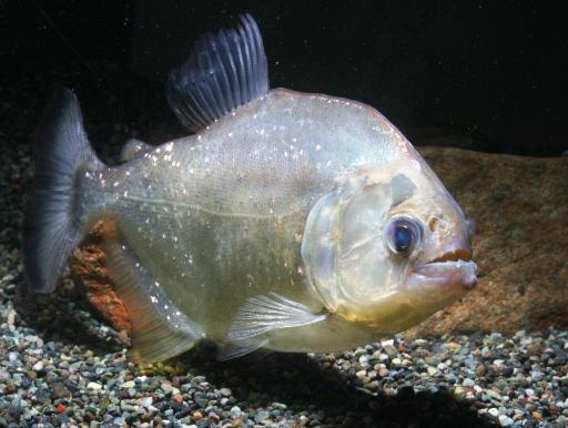 画像1: アルマータス産! ダイヤモンドイエローピラニアsp.15cm