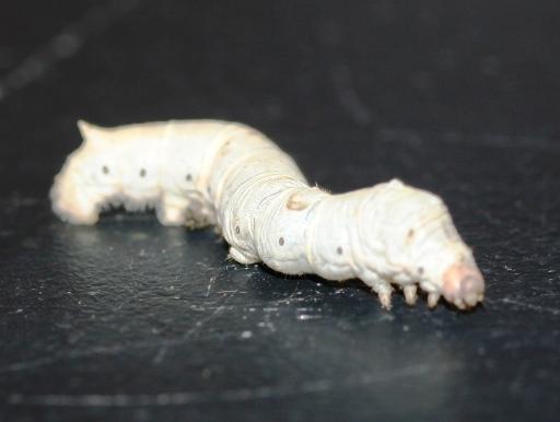 画像1: [完売です] 両生・爬虫類の餌に最適! シルクワーム(カイコ) 50匹