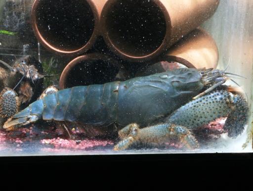 画像1: 超デカ!選別ブルー個体! アフリカン・ジャイアントロックシュリンプ ブルーLLサイズ