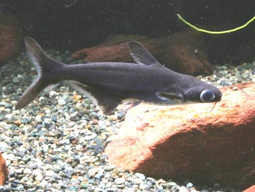 画像1: やさしい淡水サメ?! カイヤン 5匹セット