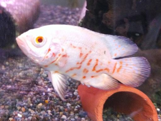 画像1: 大型魚のメジャー種! アルビノ・オスカー