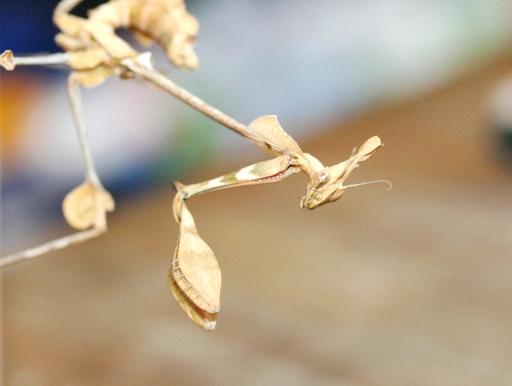 画像1: [完売です!] 中国産のゴースト系カマキリ! バイオリン・マンティス