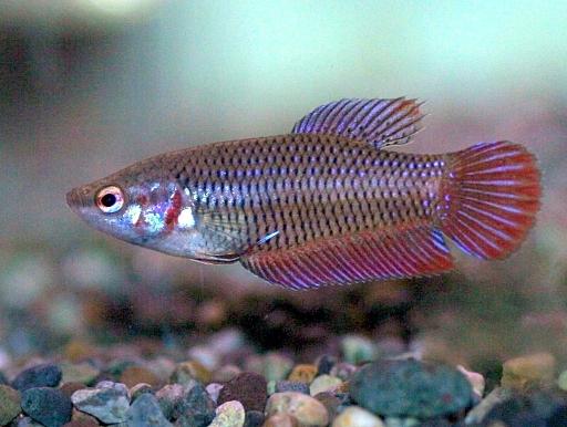 画像1: オスばかりが注目されますが、混泳魚にもどうぞ! ベタ ♀ 5匹!