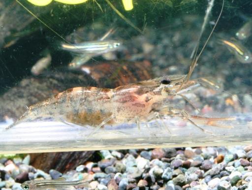 画像1: 淡水テナガエビ!抱卵個体あり! ボクシングシュリンプ 2匹セット