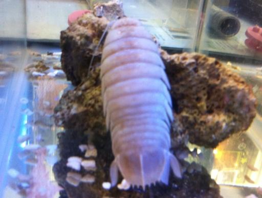 画像2: 深海生物!巨大ダンゴムシ! オオグソクムシ(大具足虫)