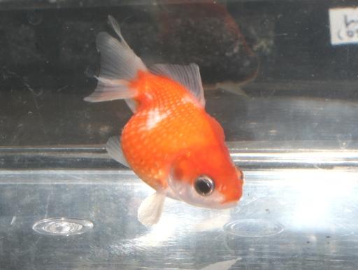 画像1: 丸くてカワイイ金魚! ピンポンパール Sサイズ