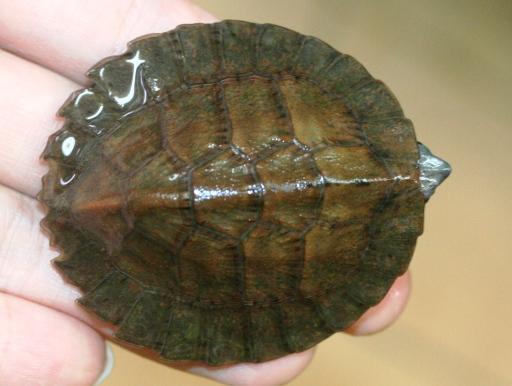 画像1: 甲羅がギザギザ! ノコヘリマルガメ
