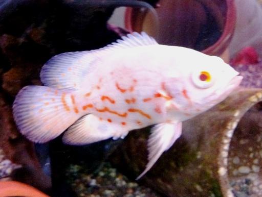 画像3: 大型魚のメジャー種! アルビノ・オスカー