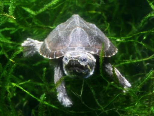 画像1: カワイイベビー! ミシシッピーニオイガメ ベビー