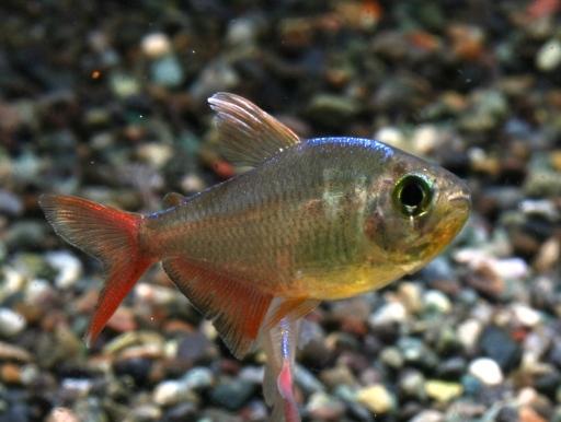 画像1: メタリックなブルーの体と赤いヒレが人気! コロンビアネオンレッドフィン 10匹セット