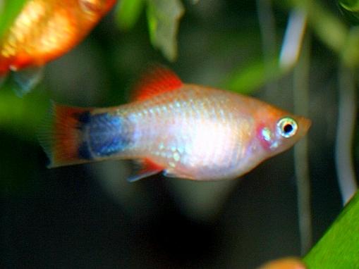 画像1: 飼育・繁殖容易なカワイイお魚! イエローサンセットミッキーマウスプラティ(@税抜114円) 10匹セット(9匹+補償1匹)