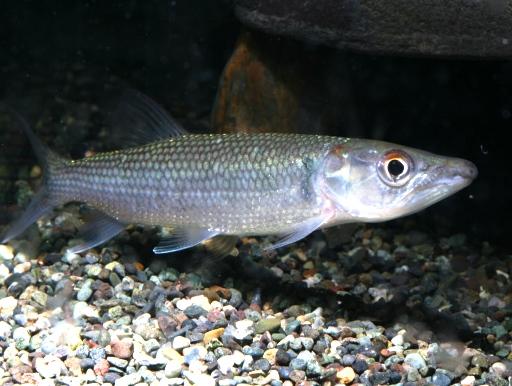 画像1: アフリカの牙魚! アフリカンパイクカラシン