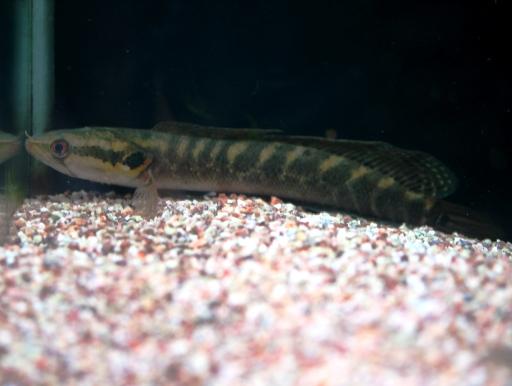 画像1: 西アフリカ産のレア蛇頭! アフリカン・シェブロンスネークヘッド ML