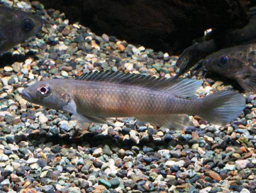 画像1: 河川産のアフリカンシクリッド! ランプロローグス・コンゴエンシス