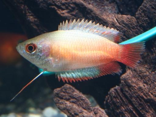画像1: 小型美魚! ゴールデンハニードワーフグラミー(@税抜380円) 5匹セット(4匹+補償1匹)