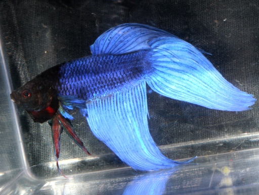 画像1: 定番種です! トラディッショナル・ベタ ♂ (ブルー系)