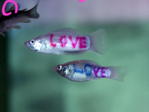 画像1: 誰かへのプレゼントへ。 LOVE LOVEな!! ラブ・モーリー 2匹!