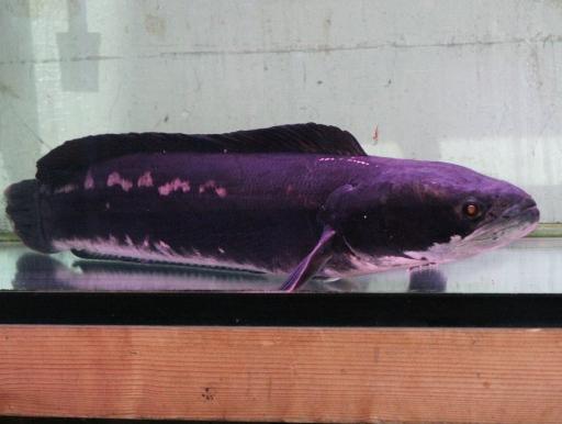 画像2: [送料無料] でっかい個体が入荷! レッドスネークヘッド 成魚