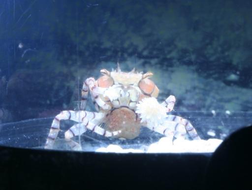 画像1: イソギンチャクをつけて身を守るカニ! ポンポンクラブ