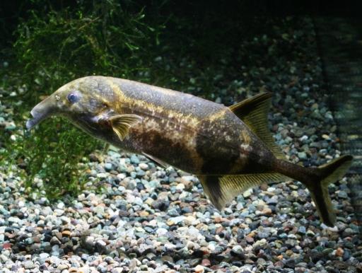 画像1: 色つきの象鼻魚! ダブルトランク・エレファント (ワイルド)