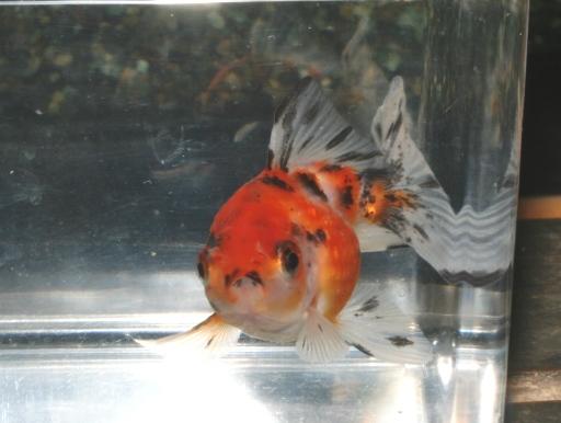 画像1: 丸くてカワイイ金魚! キャリコピンポンパール