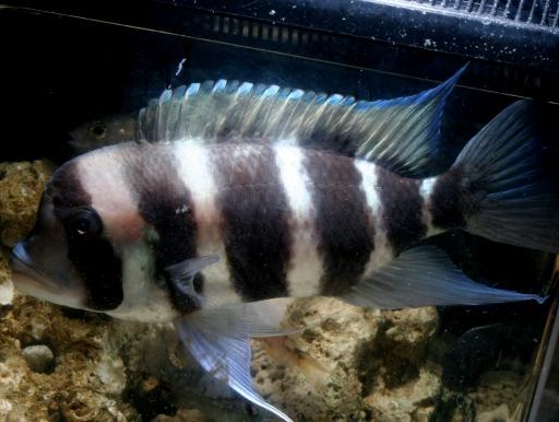 画像1: 群泳を目指したい魚ですね! フロントーサ LLサイズ