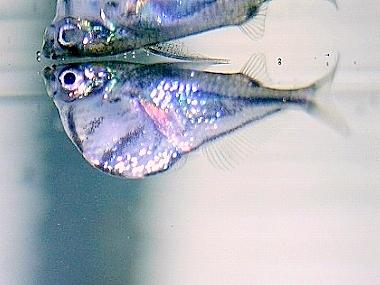 画像1: たまに入荷します。水面付近をただよい泳ぐ魚。 マーブルハチェット(@税抜320円) 10匹セット(9匹+補償1匹)
