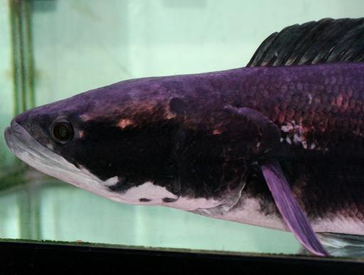 画像3: [送料無料] でっかい個体が入荷! レッドスネークヘッド 成魚