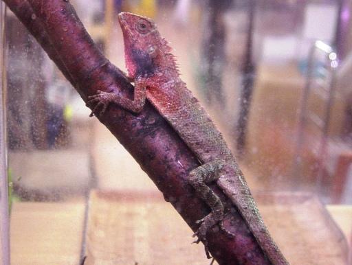 画像1: 尻尾長〜い! イロワケカロテス