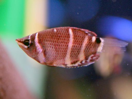 画像1: 可憐な小型美魚! チョコレートグラミー 5匹セット