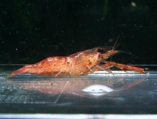 画像1: 淡水テナガエビ! ペルーブラックチップシュリンプ