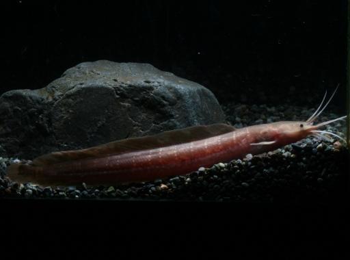 画像1: [ヒレナマズ科]  横縞が入るクラリアス! ギャラクシークラリアス