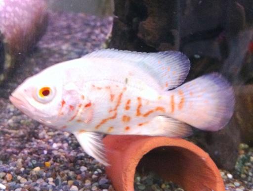 画像2: 大型魚のメジャー種! アルビノ・オスカー