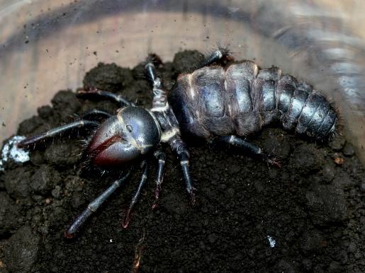 画像1: 世界三大奇蟲! ヒヨケムシ(ブラック) ♀