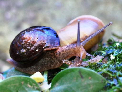 画像3: [完売です] 殻が黒い! 沖縄産 ヤンバルマイマイ