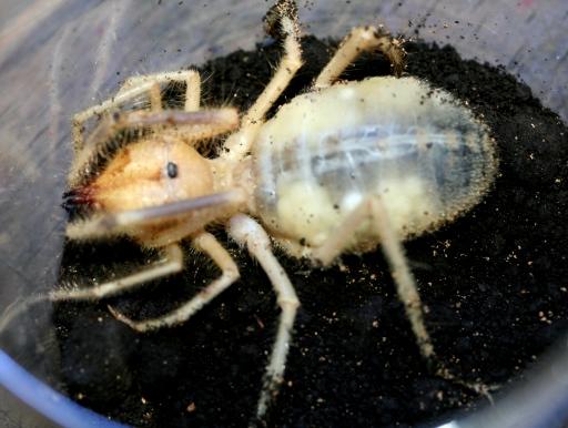 画像1: 世界三大奇蟲! ヒヨケムシ(イエロー) ♀ 抱卵個体