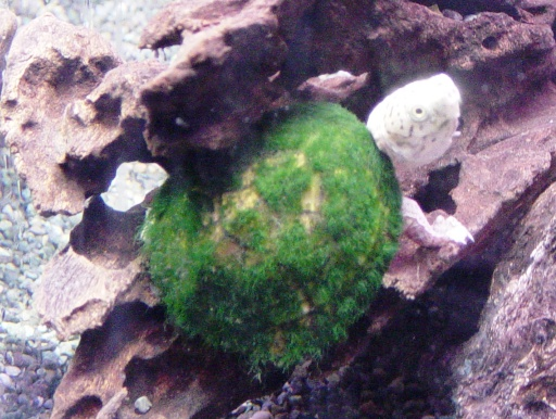 画像1: 在庫限りの大特価! ヒメニオイガメ