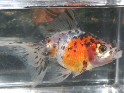 画像1: 真珠の鱗を持つ金魚! 五色パール