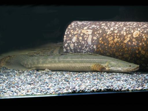 画像1: 憧れの魚もお手頃に! Po.ビキール・ビキール ML