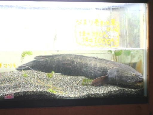画像1: 【完売しました】 カイデー!新潟産BIGライギョ(雷魚)! カムルチー(75cm)B品