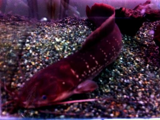 画像1: [ヒレナマズ科] 横縞が入るクラリアス! ギャラクシークラリアス (大きめ個体)