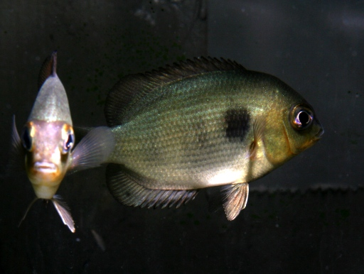 画像3: マダガスカル産シクリッド! パレートロプルス・ペティティ